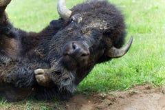 Grand roulement américain de Buffalo dans les photos de herbe-actions images libres de droits