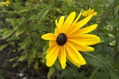 Grand Rudbeckia jaune en fleur Image libre de droits
