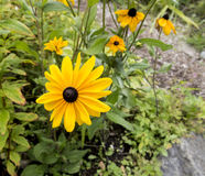 Grand Rudbeckia jaune en fleur Photographie stock libre de droits