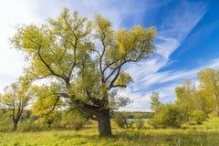 Grand saule branchu contre le ciel bleu Photographie stock libre de droits