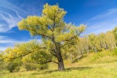 Grand saule branchu contre le ciel bleu Photographie stock