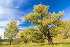 Grand saule branchu contre le ciel bleu Image stock