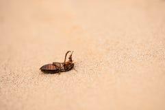 Grand scarabée de plongée (marginalis de Dytiscus) photographie stock