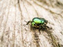 Grand scarabée en bronze - aurata de Cetonia Photo libre de droits