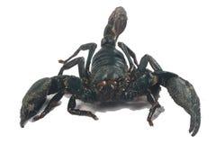 Grand scorpion noir Images libres de droits