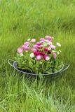 Grand seau argenté complètement de fleur de marguerite de rose de marguerite, rouge et blanche Photographie stock