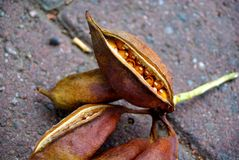 Grand Seedpods photographie stock