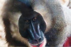 Grand singe Images libres de droits