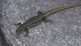 Grand skink sits on a rock stock video footage
