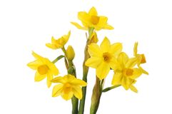 Grand Soleil d `Or narcissus flowers. Isolated against white royalty free stock photos