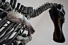 Grand squelette de dinosaure Images libres de droits