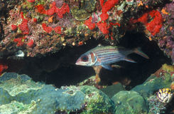 Grand Squirrelfish d'oeil Photo libre de droits