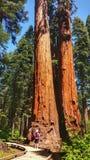 Grand stationnement d'état d'arbres de Calaveras Photos stock