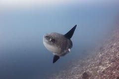 Grand Sunfish océanique dans l'eau profonde image stock