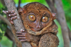 grand tarsier observé Photo stock