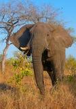 Grand taureau d'éléphant Photos libres de droits