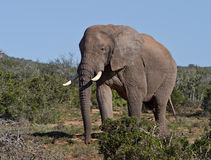 Grand taureau d'éléphant africain dans le buisson Photos libres de droits