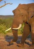 Grand taureau d'éléphant dans la savane Photos libres de droits