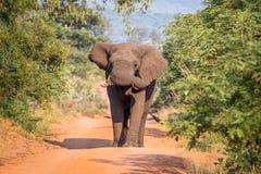 Grand taureau d'éléphant marchant vers l'appareil-photo image stock
