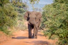 Grand taureau d'éléphant marchant vers l'appareil-photo photo libre de droits