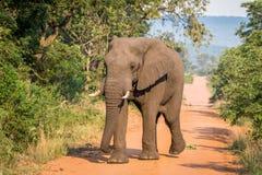 Grand taureau d'éléphant marchant vers l'appareil-photo image libre de droits
