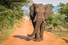 Grand taureau d'éléphant marchant vers l'appareil-photo photographie stock