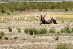 Grand taureau dans le delta de Danube Photo libre de droits