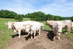 Grand taureau de boucherie du charolais avec des vaches et un veau en ressort luxuriant p Photographie stock libre de droits