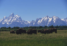 Grand Teton buffalo herd Royalty Free Stock Photography
