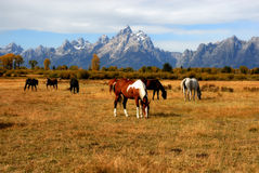 Grand Teton Horse Ranch. Beautiful Horses eating in a field in front of the Grand Tetons Stock Photos