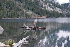 Grand Teton Jenny Lake. Reflection on mountain lake for symmetry while I was focusing on the logs Royalty Free Stock Image
