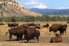 Grand Teton National Park, Wyoming, USA. Herd of bison in Grand Teton National Park , Wyoming, USA Royalty Free Stock Photography