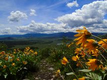 Grand Teton view over a field of yellow royalty free stock images