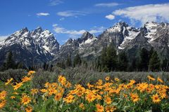 Grand Teton with Yellow Spring Flowers Stock Photos