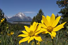 Grand tetons in the spring. Yellow flowers with the grand tetons in the background Stock Image
