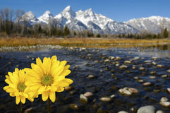 Grand Tetons in spring with yellow flowers Stock Image