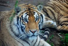 Grand tigre Photo libre de droits