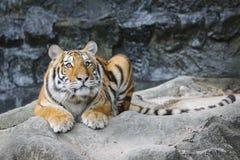 Grand tigre dans le zoo Photographie stock libre de droits