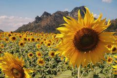 Grand tournesol Photo libre de droits