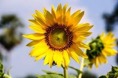Grand tournesol jaune Image libre de droits