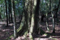 Grand tronc d'arbre dans la forêt sacrée de Mawphlang image stock