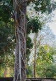 Grand tronc d'arbre de vieil arbre tropical au Cambodge Photos stock