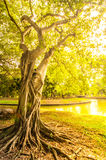 Grand tronc d'arbre pendant l'après-midi ensoleillé Photos libres de droits