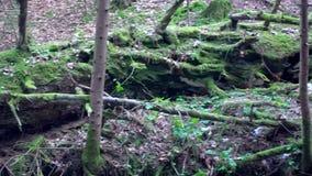 Grand tronc tombé du sapin, sapin dans les bois, jelka de Maroltova, rivière de montagne, courant, crique avec la rapide banque de vidéos
