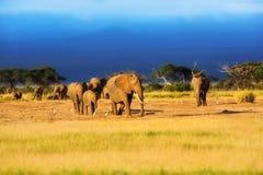 Grand troupeau d'éléphant au lever de soleil Photo stock