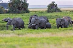 Grand troupeau d'éléphant dans le marais Photographie stock libre de droits