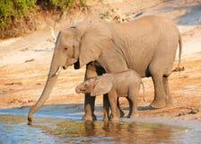 Grand troupeau d'éléphants africains Photos libres de droits
