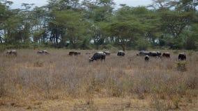 Grand troupeau de Buffalo Graze In The Grassland In l'Africain sauvage près des buissons banque de vidéos