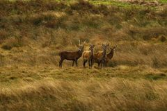 Grand troupeau de cerfs communs rouges pendant l'ornière Images stock
