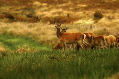 Grand troupeau de cerfs communs rouges pendant l'ornière Image stock